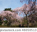 櫻花 櫻 櫻花盛開 46050513