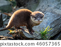 Young asian small-clawed otter (Amblonyx cinerea)  46057365