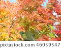단풍 나무 단풍 46059547