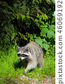 풀숲에서 나온 야생 너구리 46069192