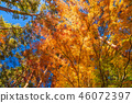 """""""จังหวัดยะมะนะชิ"""" ใบไม้เปลี่ยนสีสวยงามทะเลสาบคาวากุจิโกะ 46072397"""