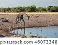Giraffe on Etosha, Namibia safari wildlife 46073348