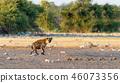 Spotted hyena, Namibia Africa safari wildlife 46073356