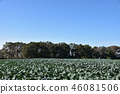 white radish, daikon flower, foliage 46081506
