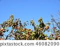 japanese persimmon, persimmon, harvest 46082090
