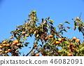 japanese persimmon, persimmon, harvest 46082091