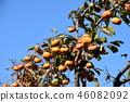 japanese persimmon, persimmon, harvest 46082092