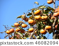 japanese persimmon, persimmon, harvest 46082094