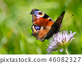 Peacock butterfly on a blossom in the summer. 46082327
