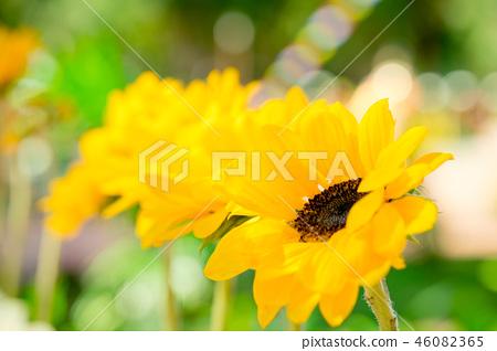花園中等向日葵。 Natsume般的花蕾。 46082365