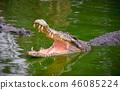 Crocodile with open jaws at Crocodile Farm in Thai 46085224