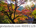 奈良县 枫树 枫叶 46091126