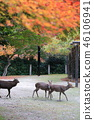 Miyajima, autumn leaves and deer in the autumnal valley 46106941