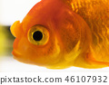 Macro fish eye. Single adult goldfish in aquarium isolated on white background. Close up view 46107932