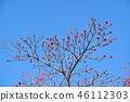 山茱萸 盛开的山茱萸 水果 46112303
