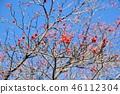 山茱萸 盛开的山茱萸 水果 46112304