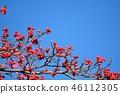 山茱萸 盛开的山茱萸 水果 46112305