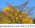 盛开的山茱萸 枫树 枫叶 46112354