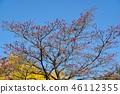 盛开的山茱萸 枫树 枫叶 46112355
