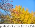 盛开的山茱萸 枫树 枫叶 46112356