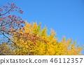 盛开的山茱萸 枫树 枫叶 46112357