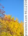 盛开的山茱萸 枫树 枫叶 46112358