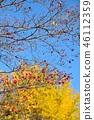 盛开的山茱萸 枫树 枫叶 46112359