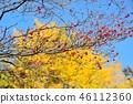 盛开的山茱萸 枫树 枫叶 46112360