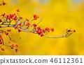 山茱萸 盛开的山茱萸 水果 46112361