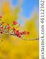 山茱萸 盛开的山茱萸 水果 46112362