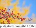 山茱萸 盛开的山茱萸 水果 46112363