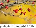 山茱萸 盛开的山茱萸 水果 46112365