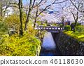 京都 哲學之道 春天 46118630