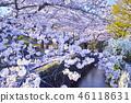 京都 哲學之道 春天 46118631
