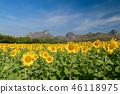 Sunflowers field farm in Lop buri, 46118975
