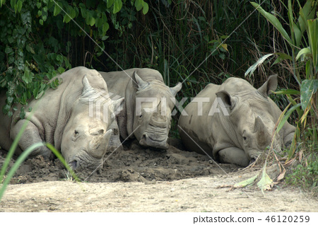 3 개의 코뿔소 2 46120259