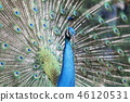peafowl, peacock, bird 46120531