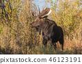Bull Moose in Autumn 46123191