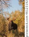 Bull Moose in Autumn 46123192