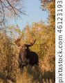 Bull Moose in Autumn 46123193