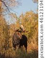 Bull Moose in Autumn 46123194