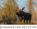 Bull Moose in Autumn 46123195