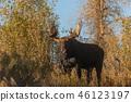 Bull Moose in Autumn 46123197