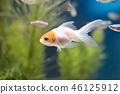 金魚 魚 游泳 46125912