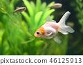 金魚 魚 小魚 46125913