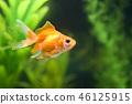 金魚 魚 游泳 46125915