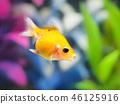 金魚 魚 小魚 46125916