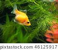 金魚 魚 小魚 46125917