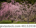 cherry blossom, cherry tree, three months of spring 46132038