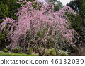 cherry blossom, cherry tree, three months of spring 46132039